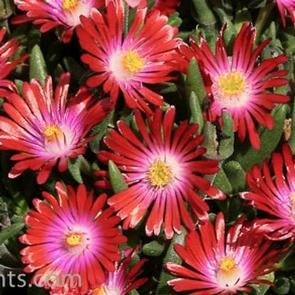 Delosperma 'Jewel of Desert Garnet' (33360)