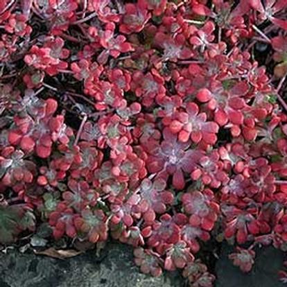 Sedum spathulifolium 'Purpureum' (8869)