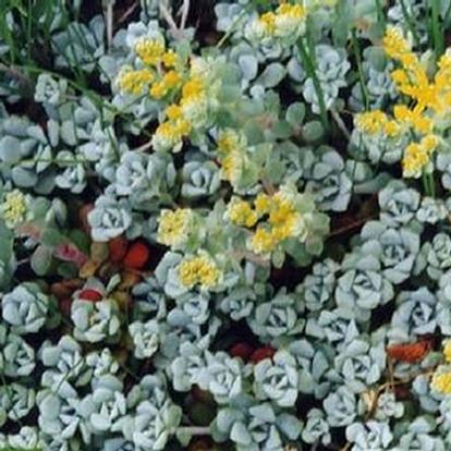 Sedum spathulifolium 'Cape Blanco' (8868)