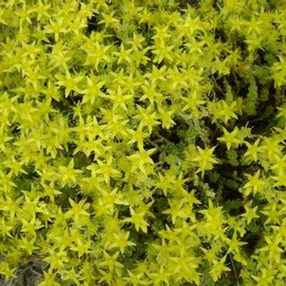 Sedum acre 'Yellow Queen' (28776)