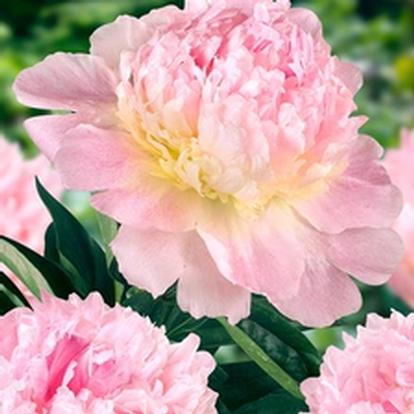 Paeonia (LD) 'Raspberry Sundae' (27197)