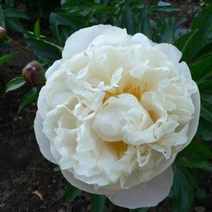 Paeonia (LD) 'Gardenia' (27134)
