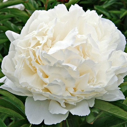 Paeonia lactiflora 'Bowl of Cream' (33757)