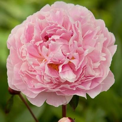 Paeonia (LD) 'Sarah Bernhardt' (27203)