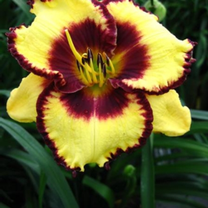 Hemerocallis 'Calico Jack' (33899)