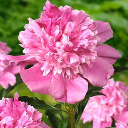 Paeonia lactiflora 'Bouquet Perfect' (33079)