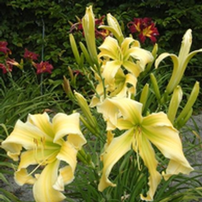 Hemerocallis 'Heavenly Flight of Angel' (33003)