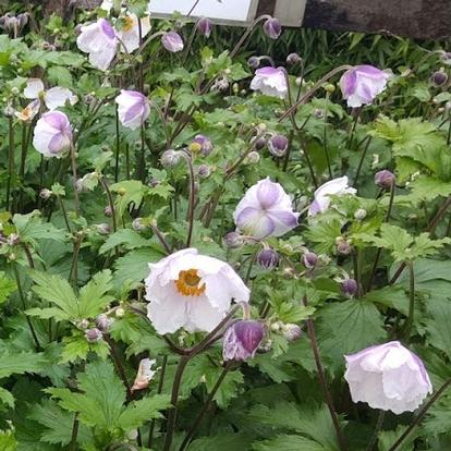 Anemone 'Dreaming Swan' (33509)