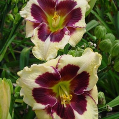 Hemerocallis 'Celibration of Angels' (34071)