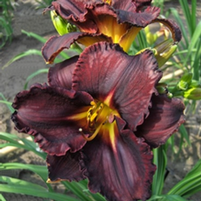 Hemerocallis 'Black Stockings' (34073)