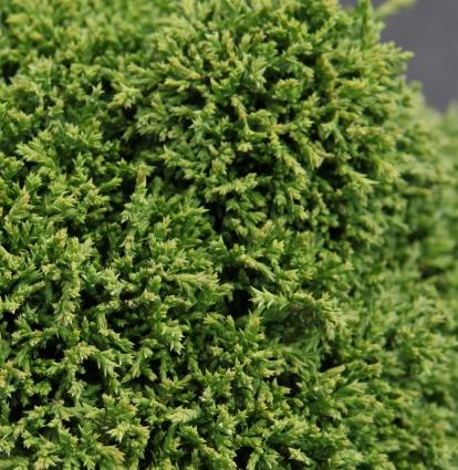 Chamaecyparis pisifera 'Hime-sawara' (34178)