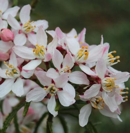 Choisya ternata 'Apple Blossom' (34180)
