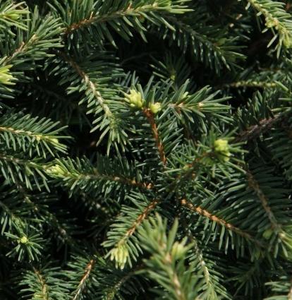 Picea omorika 'Karel' (34184)