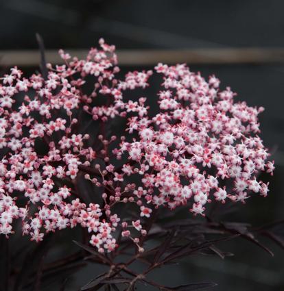 Sambucus nigra 'Black Lace' (34185)