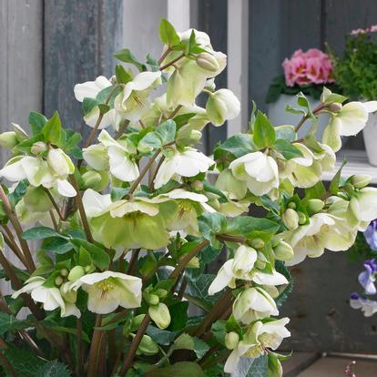 Helleborus 'Molly's White' (34219)