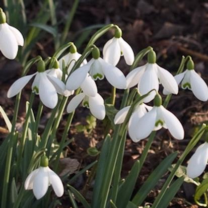 Galanthus 'White Cloud' (31293)