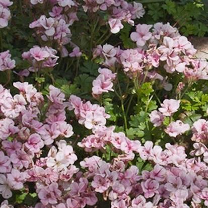 Geranium dalmaticum 'Bridal Bouquet' (30735)