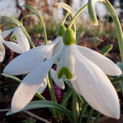 Galanthus 'Bill Bishop' (30259)