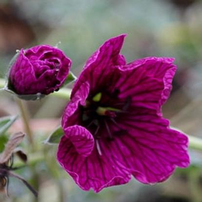 Geranium cinereum 'Purple Pillow' (30620)