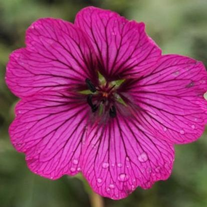 Geranium 'Carol' (30597)