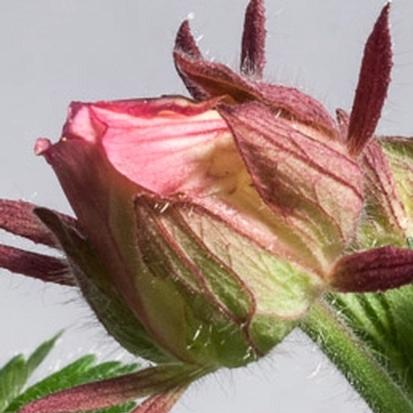 Geum triflorum (24825)
