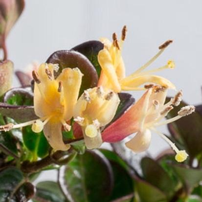 Lonicera crassifolia 'Little Honey' (31678)