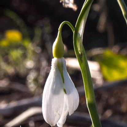 Galanthus 'Sutton Courtenay' (31537)